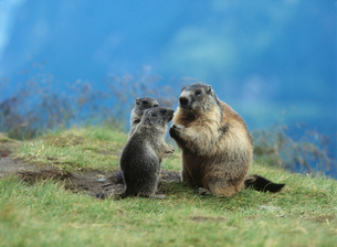 Marmot with youngの写真素材 [FYI03631403]