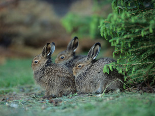 Three young hares sitting by bushの写真素材 [FYI03631404]