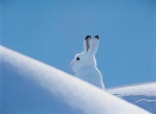 Arctic hareの写真素材 [FYI03631406]