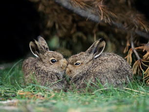 Two young hares sitting by bushの写真素材 [FYI03631411]