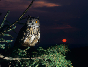 Eagle owl perching on Tree Branchの写真素材 [FYI03631422]