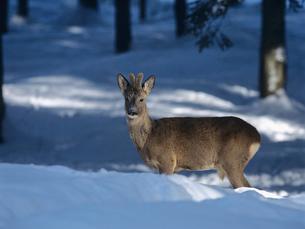 Young deer in snowの写真素材 [FYI03631436]