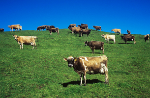 Cows in field on hillの写真素材 [FYI03632633]