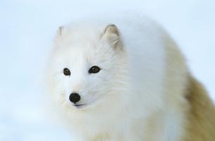 Arctic Fox in snow  close-upの写真素材 [FYI03632782]
