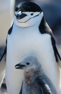 Penguin chick with mother  close-upの写真素材 [FYI03632809]