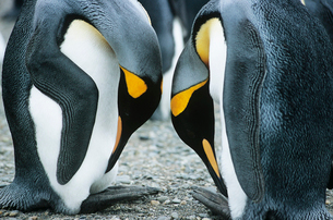 Pair of Penguins head to headの写真素材 [FYI03632818]