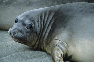 Seal lying on beachの写真素材 [FYI03632824]