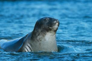 Seal lying in waterの写真素材 [FYI03632825]