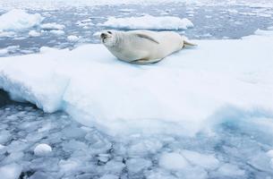 Fur Seal lying on ice flowの写真素材 [FYI03632826]