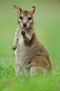 Joey Kangaroo in grassの写真素材 [FYI03632843]