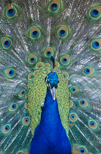 Peacock displaying feathers  close-upの写真素材 [FYI03632874]
