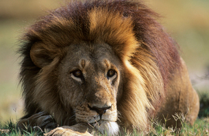 Male Lion lying on savannahの写真素材 [FYI03632916]