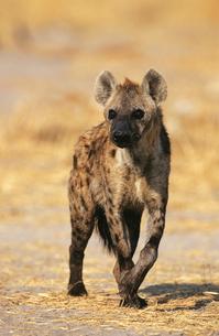Spotted Hyena (Crocuta Cocuta)  standing on savannahの写真素材 [FYI03632933]