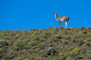 Llama standing on hillsideの写真素材 [FYI03632950]