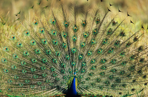 Peacock displaying feathersの写真素材 [FYI03632953]