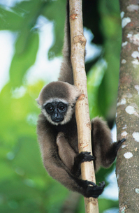 Young Squirrel Monkey climbing treeの写真素材 [FYI03632956]