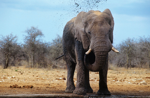 African Elephant (Loxodonta Africana) squirting mud on savの写真素材 [FYI03632980]