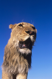 Male Lion against blue sky  low angle viewの写真素材 [FYI03632987]