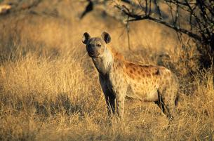 Spotted Hyena (Crocuta Cocuta)  standing on savannahの写真素材 [FYI03633004]