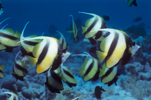 School of Angelfish on reefの写真素材 [FYI03633179]