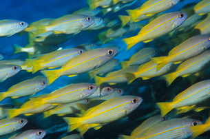 School of tropical fish in oceanの写真素材 [FYI03633187]