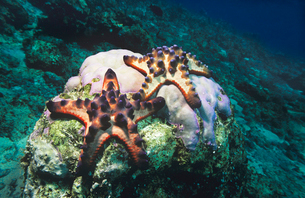 Star fish on coral reefの写真素材 [FYI03633189]