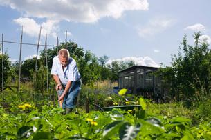 Senior man gardeningの写真素材 [FYI03633788]