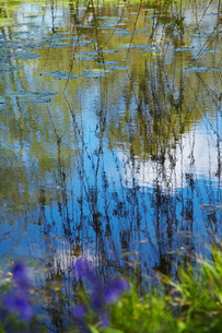 Willow Branches Over Lily Pad Covered Pondの写真素材 [FYI03633821]