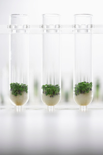 Cress seedlings growing in test tubesの写真素材 [FYI03634265]