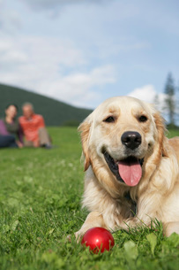 golden retriever reclining in meadow  man and woman in bacの写真素材 [FYI03635539]