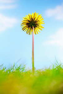 Single dandelion flower and grass  close-upの写真素材 [FYI03635575]