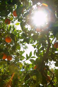 Sunlight breaking through orange treeの写真素材 [FYI03635793]