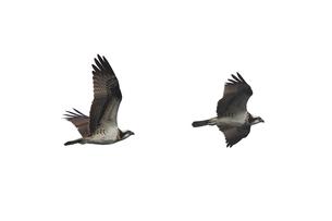 飛翔するミサゴの切抜き画像の写真素材 [FYI03635891]