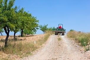 Farmer drives tractor on hillside with olive groveの写真素材 [FYI03635910]