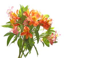 アルストロメリアの花束の写真素材 [FYI03635922]