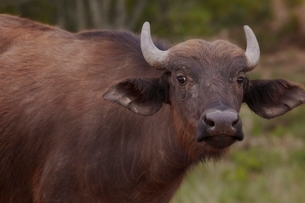Water Buffalo in African plainsの写真素材 [FYI03635966]