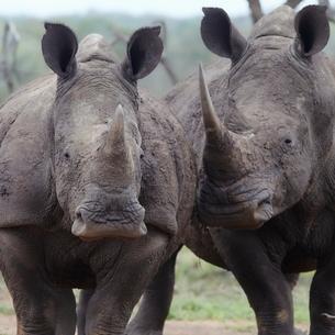 Two rhinoceros walk side by sideの写真素材 [FYI03635969]