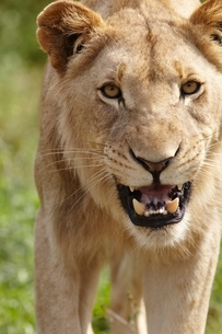 Lioness snarling at cameraの写真素材 [FYI03635973]