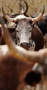 Herd of nguni cattleの写真素材 [FYI03635976]