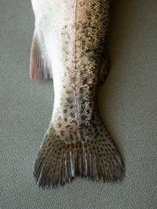 Dead Fish  low sectionの写真素材 [FYI03637412]