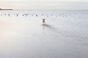 Mixed breed dog chasing birs in Herne Bat  Kentの写真素材 [FYI03637741]