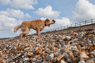 Mixed-breed Golden Retriever-Poodle cross shaking wet furの写真素材 [FYI03637746]