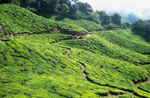 Tea plantationの写真素材 [FYI03638715]