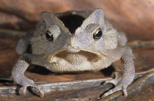 Tree frog on leaf close-upの写真素材 [FYI03638721]