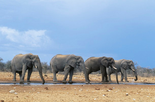 Four African Elephants (Loxodonta Africana) in a rowの写真素材 [FYI03638726]