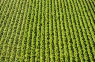 Aerial view rows of grape vines vineyard Mornington Peninsulの写真素材 [FYI03638951]