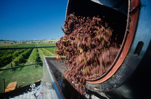 Grapes being unloaded at vineyardの写真素材 [FYI03638956]