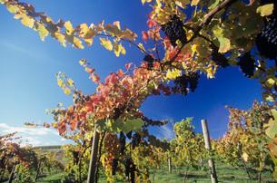 Grapes on vines in vineyard Yarra Valley Victoria Australiaの写真素材 [FYI03638959]