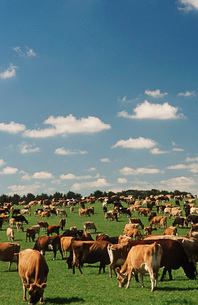 Jersey dairy cows in green pastureの写真素材 [FYI03639008]