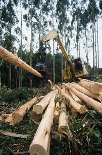 Plantation Eucalyptus (Bluegum) trees being harvested for woの写真素材 [FYI03639052]